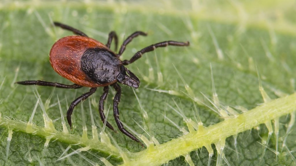 Testing of Lyme Disease and photo of Tick